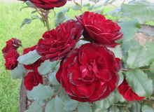 Rose red. Red rose on the branch in the Park, Bush Royalty Free Stock Image