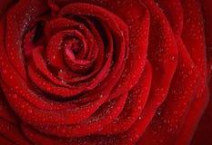 Rose, Red, Rosa, Morning Royalty Free Stock Photos