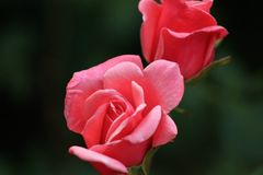 Rose, Red Rose, Nature Stock Photos