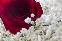 Rose. Red rose and white flowers Royalty Free Stock Photo