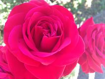 Rose. Red roses Stock Images