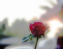 Rose. Red roses indicates a fall or secretly cheer someone royalty free stock photography