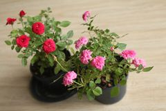 Rose, red roses, pink rosen, Small roses, tree, flower pot, Rose mike, Green leaf. Small, red and pink roses are in black pots,Photography in Thailand stock photos