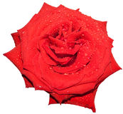 Rose. Red roses on a white background Stock Image