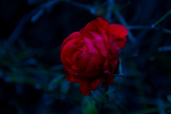 The rose Stock Photography