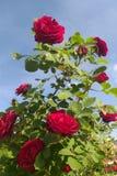 Rose red summer garden, bush flowers royalty free stock photo