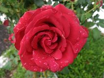 Rose red Royalty Free Stock Photography
