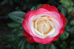 Rose with red to white petals in the rose garden Stock Photography