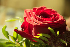 Rose. Red rose in a vase, flowers, red, photograph taken at close range, the green branches, the image close Stock Photography