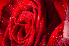 Rose. Red rose and water drop Stock Image