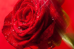 Rose. Red rose and water drop Royalty Free Stock Photo