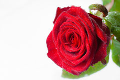 Rose. Red rose on the white background Royalty Free Stock Image