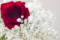 Rose. Red rose and white flowers Royalty Free Stock Image