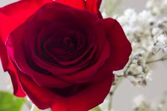 Rose. Red rose and white flowers Stock Photos