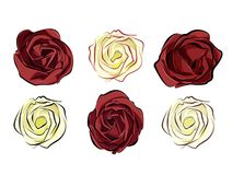 rose red and white isolated on white background separately arran royalty free stock image