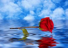 Rose reflected in water. Valentines, loves card Stock Images