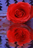 Rose Reflected in Water. Rose with reflection in the water, abstract background Royalty Free Stock Photos