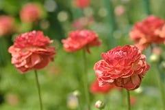 Rose Reina com pingos de chuva imagens de stock