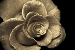 rose retro Zdjęcia Stock