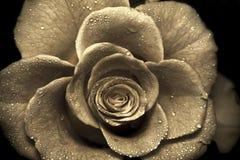 rose retro Zdjęcia Royalty Free