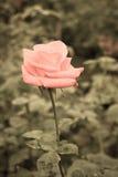 Rose Retro hermosa Fotografía de archivo libre de regalías