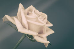 Rose with retro processing Stock Image