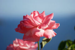 Rose reveal. Luxuriantly blooming rose pale pink Royalty Free Stock Image