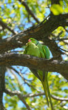 Rose ring-necked parrots matting Stock Photos