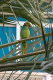A Female Rose-Ringed Parakeet in Oman stock photos