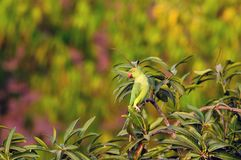Rose Ringed Parakeet Stock Images