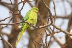 Rose-ringed parakeet. (Psittacula krameri) standing on branch Stock Images