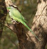 Rose-ringed Parakeet Royalty Free Stock Image