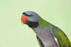 Rose-ringed Parakeet. On the tree Royalty Free Stock Photo