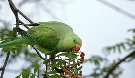 Rose-ringed parakeet. The Rose-ringed Parakeet (Psittacula krameri), also known as the Ringnecked Parakeet, is a gregarious tropical parakeet species that is Royalty Free Stock Photography
