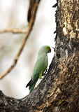 The rose-ringed parakeet Stock Photos