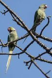Birds:Pair of Rose Ringed Parakeet Perched on Branch of a Tree Royalty Free Stock Images