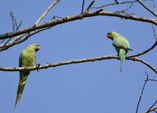 Birds:Pair of Rose Ringed Parakeet Perched on Branch of a Tree  Looking at Each Other Royalty Free Stock Images