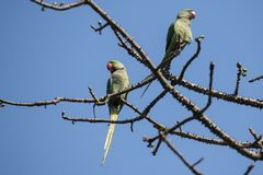Birds:Pair of Rose Ringed Parakeet Perched on Branch of a Tree Stock Photo