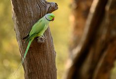 Rose ringed parakeet. Beautiful avian green red beak song birds feed on berries. They perched Royalty Free Stock Photo