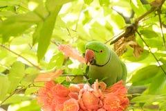 Rose - ringed parakeet bird earting flower petals Royalty Free Stock Photo