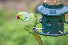 Rose-Ringed Parakeet on bird feeder. Psittacula Krameri. Rose-Ringed Parakeet perched on bird feeder Psittacula Krameri Royalty Free Stock Image