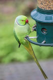 Rose-Ringed Parakeet on bird feeder Psittacula Krameri. Rose-Ringed Parakeet perched on bird feeder Psittacula Krameri Royalty Free Stock Photography