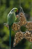 Rose-ringed parakeet eating peanuts Royalty Free Stock Images