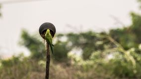 Rose ringed parakeet exploring a inverted pot on a farmland royalty free stock photo