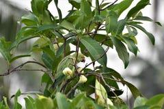 Rose ringed parakeet Stock Photo