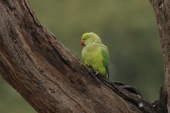 Rose-ringed Parakeet, Halsbandparkeet, Psittacula krameri stock photography