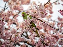 Rose ringed parakeet in Japanese sakura tree 7 royalty free stock photos