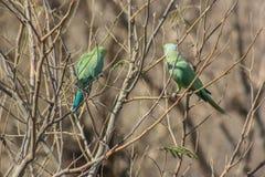 Rose-ringed parakeet kissing Stock Photos