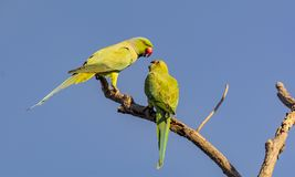 Rose Ringed Parakeet - Pair Chatting royalty free stock photography