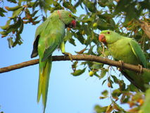 Rose Ringed Parakeet pair Stock Photos